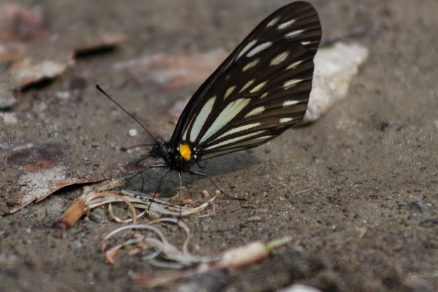 Butterfly of Kausani